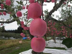 大玉りんご「むつ」